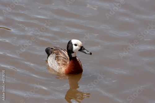 arctic duck swimming slowly