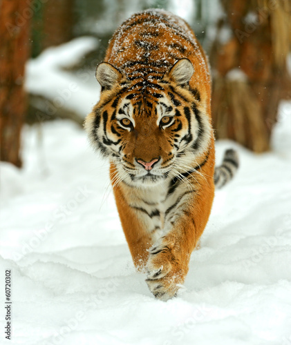 Foto op Canvas Tijger Portrait of a Siberian tiger