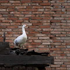 goose on brick wall
