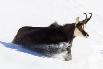 Camoscio corre e salta nella neve
