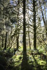 Backlit Mossy Douglas Fir Trees