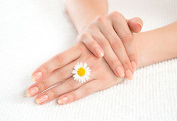 woman french manicured hands with fresh camomile daisy flower