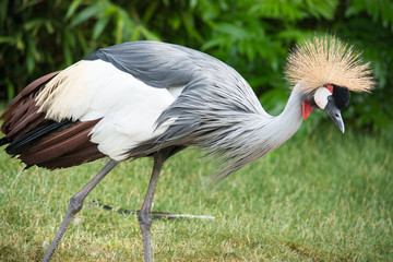 The Grey Crowned Crane (Balearica regulorum)