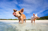 Swimming pigs of Exuma