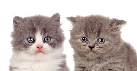 Nice pair of gray kittens