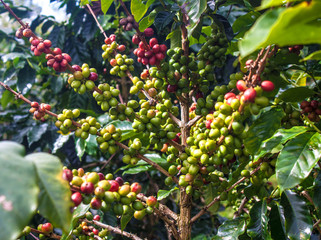 Coffee Beans on Bolaven Plateau in Laos