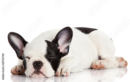 French bulldog puppy sleeping.