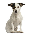 Jack russel terrier sitting, looking at the camera, isolated