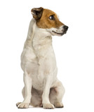 Jack russel terrier sitting, looking away, isolated on white