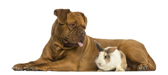 Dogue de Bordeaux panting and rabbit lying together, isolated