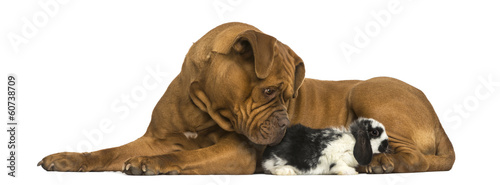 Dogue de Bordeaux and Lop rabbit lying together, isolated