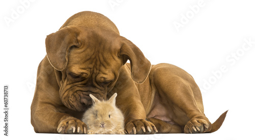 Dogue de Bordeaux smelling a Rex rabbit, isolated on white