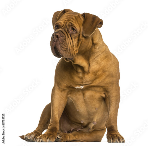 Fototapeta Dogue de Bordeaux sitting, looking away, isolated on white