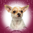 Close-up of a Chihuahua looking away, on a pink fancy background