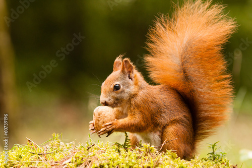 Foto op Aluminium Eekhoorn Squirrel with nut