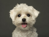 Close-up of a Maltese puppy panting, looking at the camera