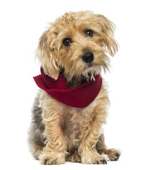 Front view of a Lucas terrier sitting, wearing a scarf, isolated