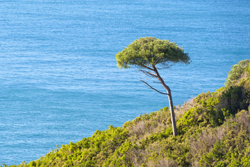liguria lonely pine