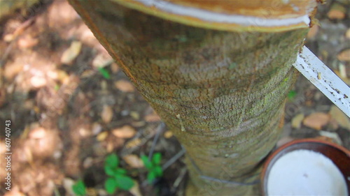 Tapping latex from a rubber tree in Thailand
