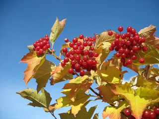 Viburnum bunch against blue sky background