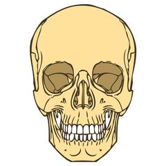 Human Skull 01