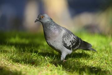 Feral pigeon (Columba livia)
