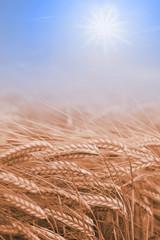 Getreidefeld und blauer Himmel mit Sonne