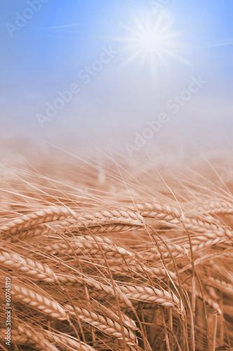 canvas print picture Getreidefeld und blauer Himmel mit Sonne