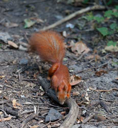 Red squirrel in autumn forest