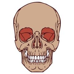 Human Skull 06
