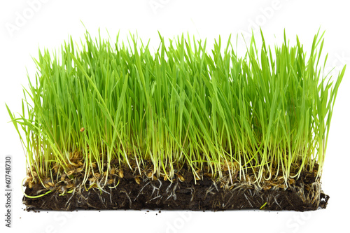 Organic wheat sprouts with soil and roots isolated