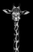 """Постер, картина, фотообои """"Giraffe in Black and White"""""""