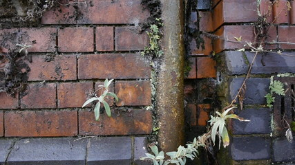 Overgrown drainpipe and brickwork.