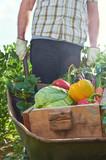 Farmer pushing wheelbarrow and crate full of fresh organic produ