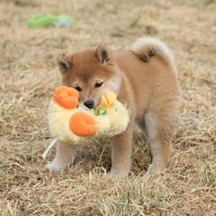 Amazing funny Shiba inu puppy