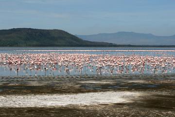 Flamingos in Africa