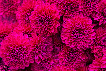 Bouquet of magenta dahlias.