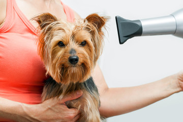 Yorkshire getting blow dried.