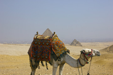 Giza Pyramids with Egyptian Camel