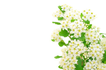 Branch of bird-cherry tree (Prunus padus)