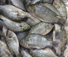 Fresh Tilapia fish