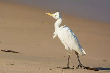 Cattle Egret in the wind
