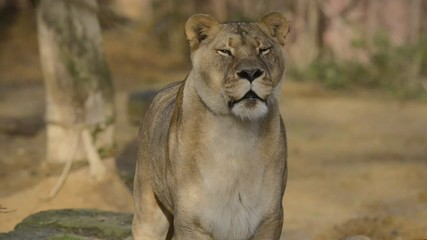 Lioness Watching Her Territory 1