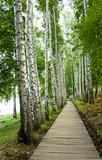 Fototapeta birch alley