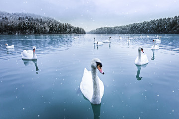 Swans swimming in lake on a snowy winter day