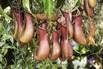 Tropical pitcher plant (nepenthes