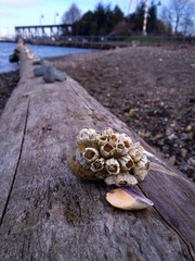 barnacle patch and shell placed on driftwood