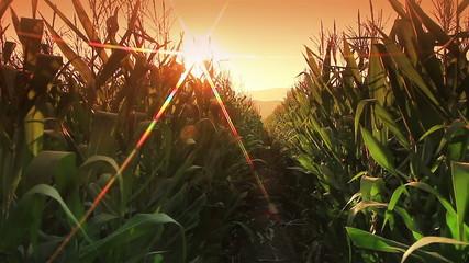 Corn farm in Thailand : Crane shot with flare