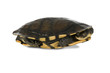 Australian long-necked turtle on white, with clipping path.