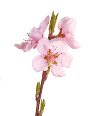 Pink flowers of a nectarine against white